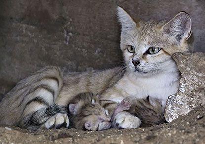 """9 Канал ТВ - Невероятная прелесть: новорожденные котята барханной кошки в """"Сафари"""""""