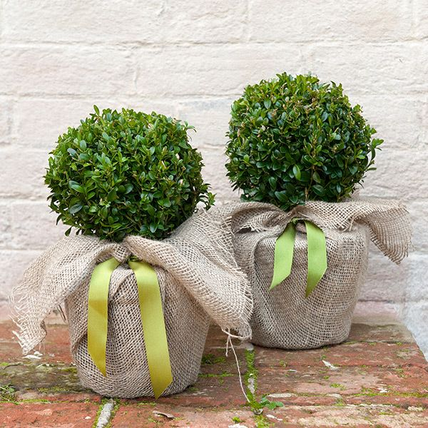 Buy common box - ball Buxus sempervirens: Delivery by Waitrose Garden in association with Crocus