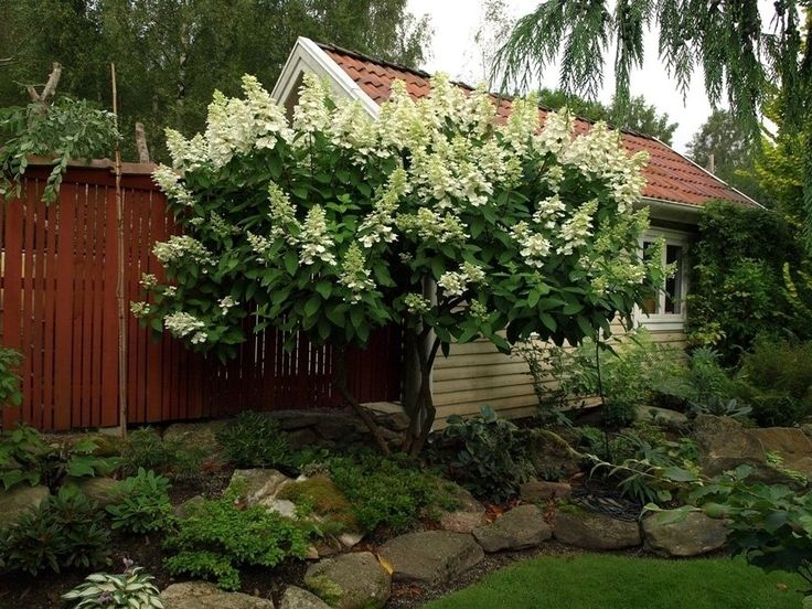 Syrenhortensia - uppstammad Grandiflora