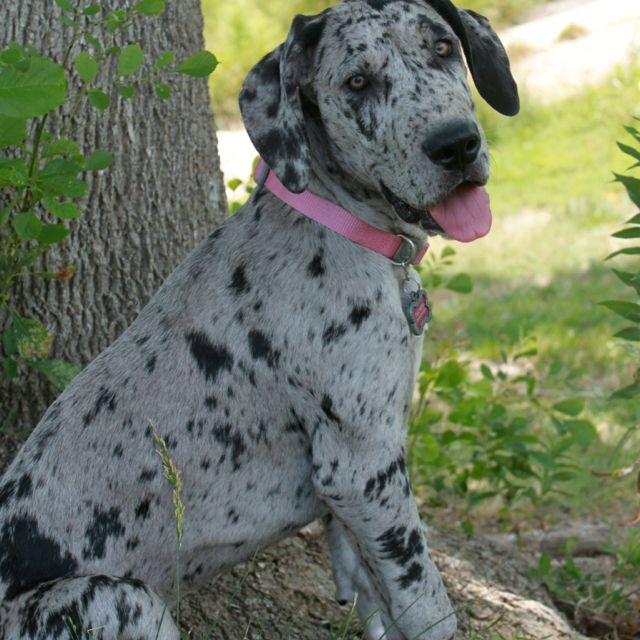 Blue Merle great dane puppy | Great Dane lover | Pinterest ...