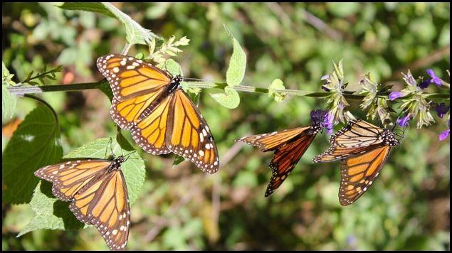 Clima extremo amenaza hábitat de mariposas Monarca en México