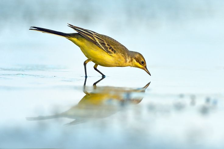 Yellow wagtail. by David Daniel on 500px