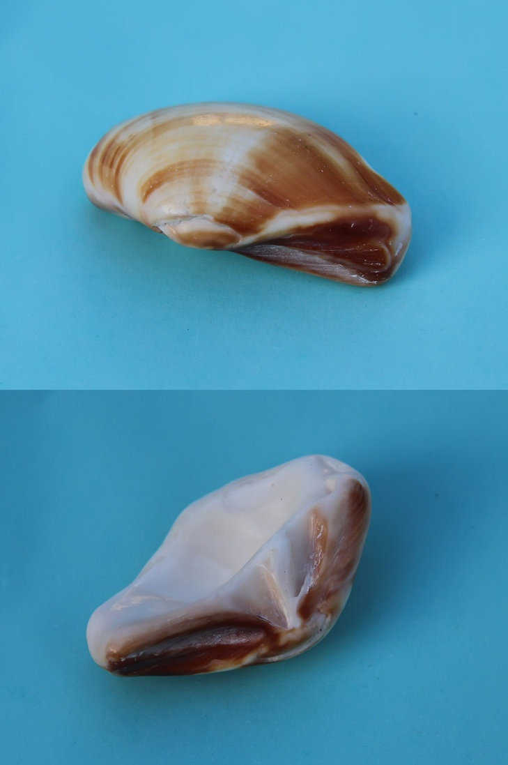 Prehistoric Sea Shell