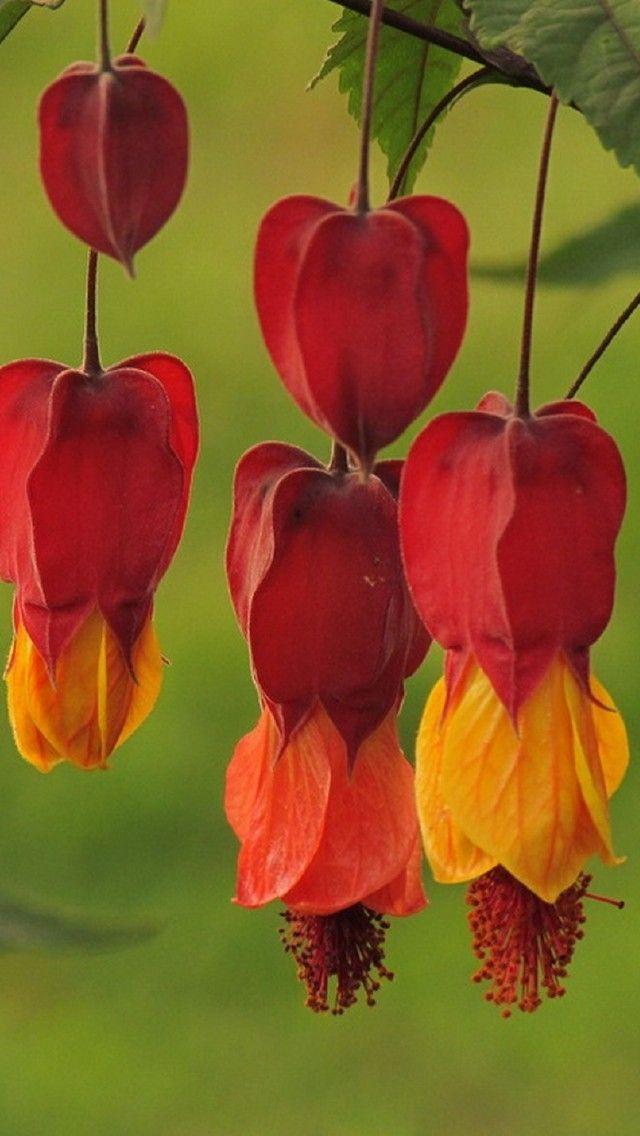 """Flames (Макро, Цветок, Мир Цветов, Красота, Цветы. Flowers & Plants | PicsFab.com).""      (Pinned both to Nature - P&F-Flowers-Pendant Flowers... & Nature - P&F-Flowers, N.O.C....)"