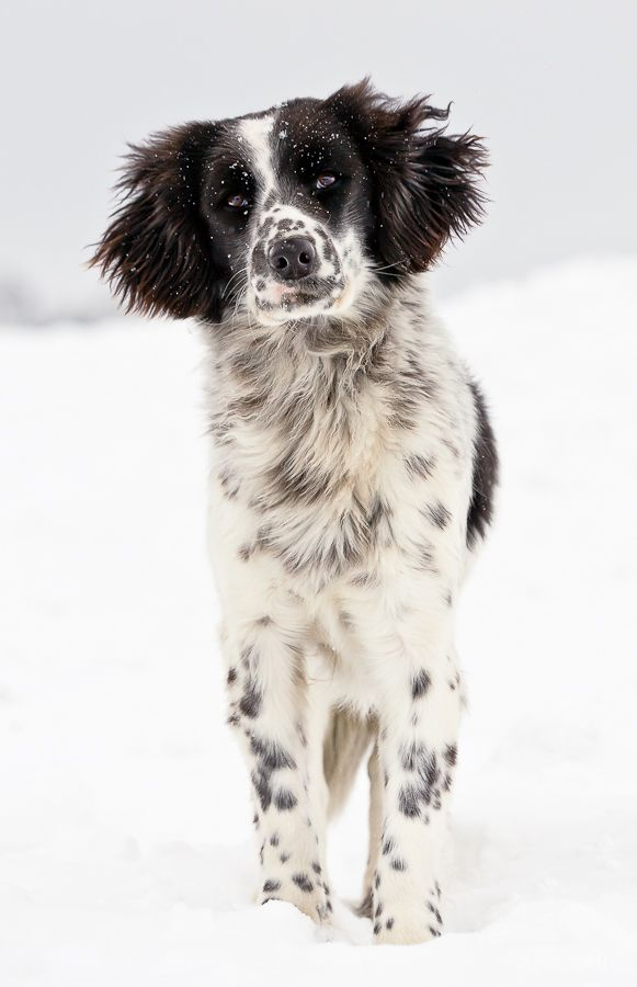 Stabyhoun, Stabij,  Beike, Frisian Pointer Dog
