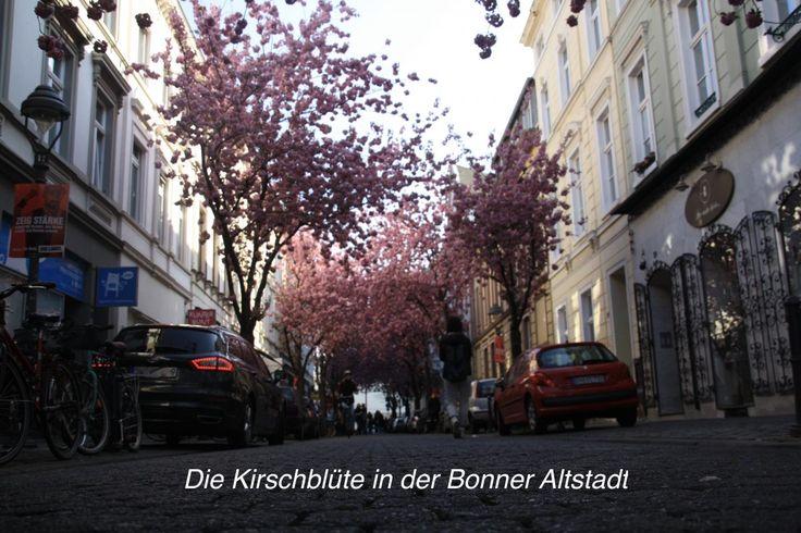Einmal im Jahr ist es soweit. Die Kirschblüte erwacht und zeigt sein schönstes Bild. Wir müssen aber direkt gestehen, dass wir nun solange hier unten wohnen, aber die Blüte nie bewusst besucht oder fotografiert haben. Aber dieses Jahr war es endlich soweit. Von der Stadtbahnhaltestelle Stadthaus gelangt man direkt in die Altstadt. (S66 von Siegburg und jede S von Bonn HBF Richtung Konrad AdenauerPlatz)  In Bonn ist fast die ganze Altstadt von Kirschbäumen gesäumt und so ergibt sich eine…