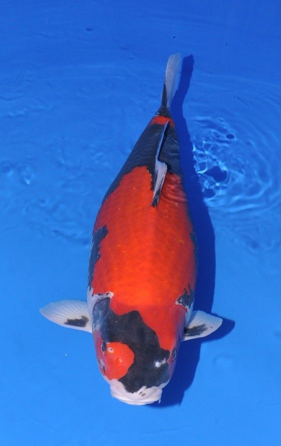 17 best images about goshiki koi on pinterest polos the for Blue and white koi fish
