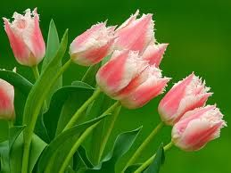 Pink White Parrot Tulips
