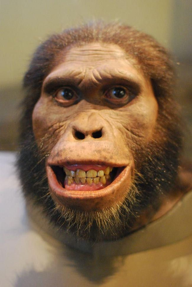 Australopithecus Africanus: Th... is listed (or ranked) 8 on the list In Memoriam: All Members of the Human Family Tree That Were Bested by Evolution