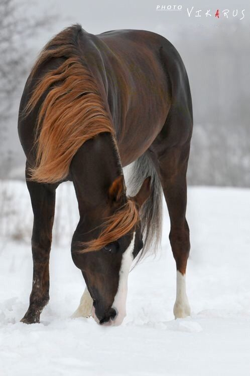 Chocolate colored horse in the snow with a gorgeous colored mane.