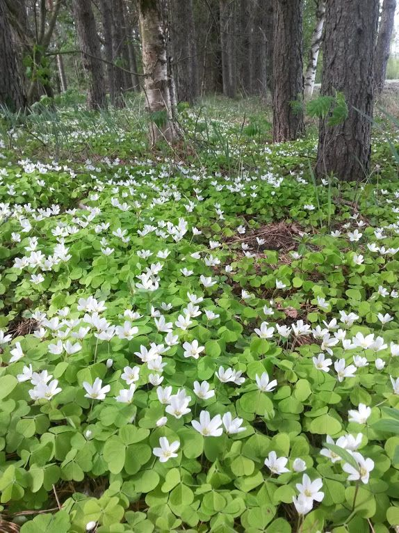 Wood sorrel is eatable and beautiful.