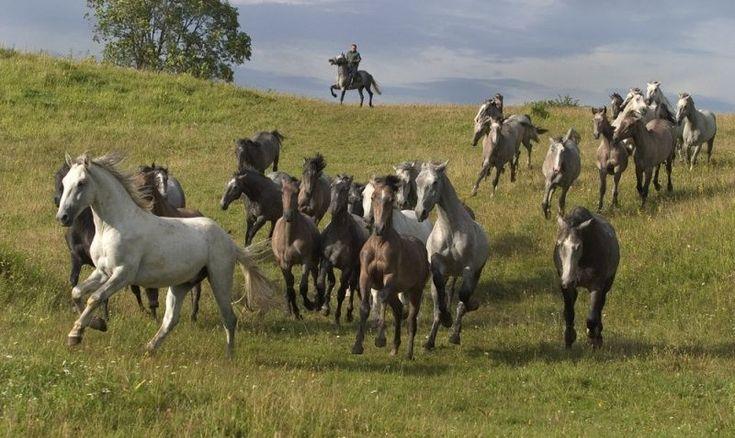 Beautiful horses on the fields of Szilvásvárad, Hungary - Stud Lipica