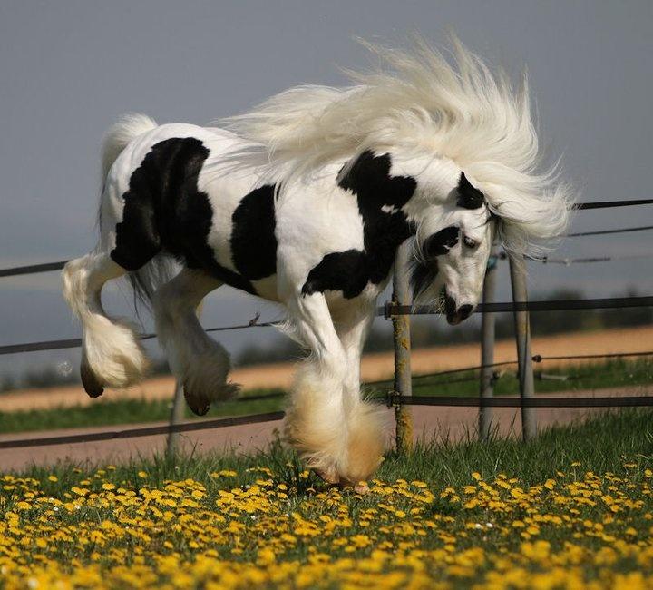 gypsy: Pretty Hors, Beautiful Hors, Gypsy Horse