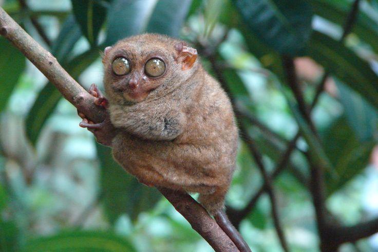 #Долгопят #Необычная и #удивительная #обезьяна, обитающая на #островах Юго-восточной #Азии, преимущественно на о.Борнео #любопытно, что их #огромные #глаза (4-6 дюймов) по размеру равны размеру #мозга #животного, каждый #глаз. Эти #приматы так же #относятся к #редким #животным, в связи с тем, что являются 100% #плотоядными. #Птицы, #ящерицы, #змеи, #летучие #мыши – их #обед.