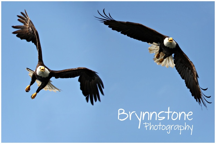 Brynnstone Photography: Bald Eagle Wildlife Photography | Prince Rupert, BCBald Eagle