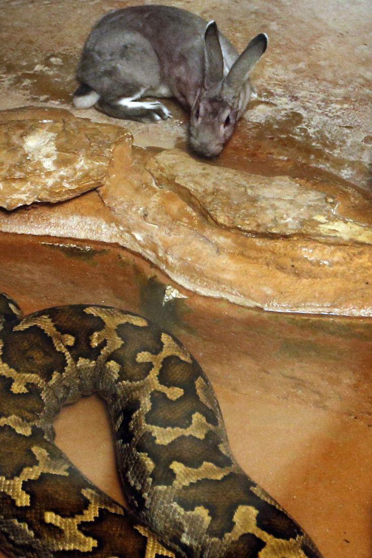 Πώς μπορεί ένα φίδι να καταβροχθίσει έναν ενήλικα άνθρωπο