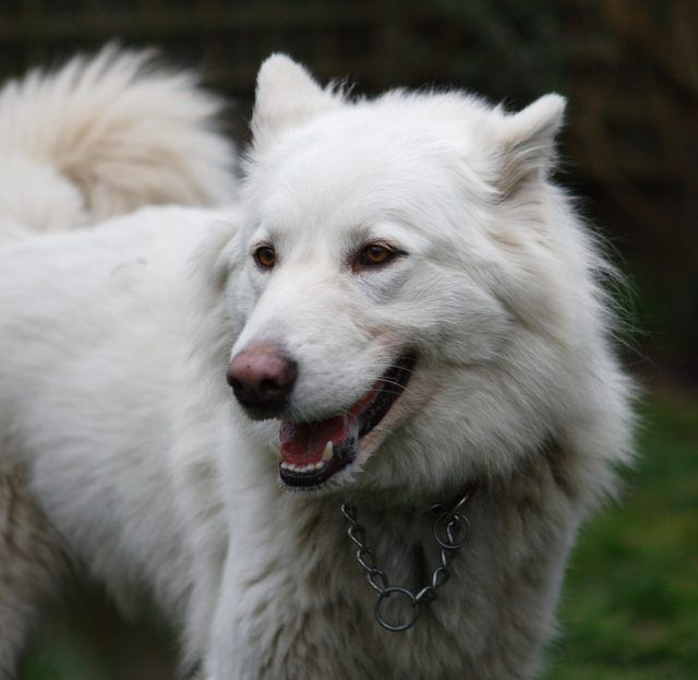 Alaskan Malamute Cross White German Shepherd | 101doggy ...