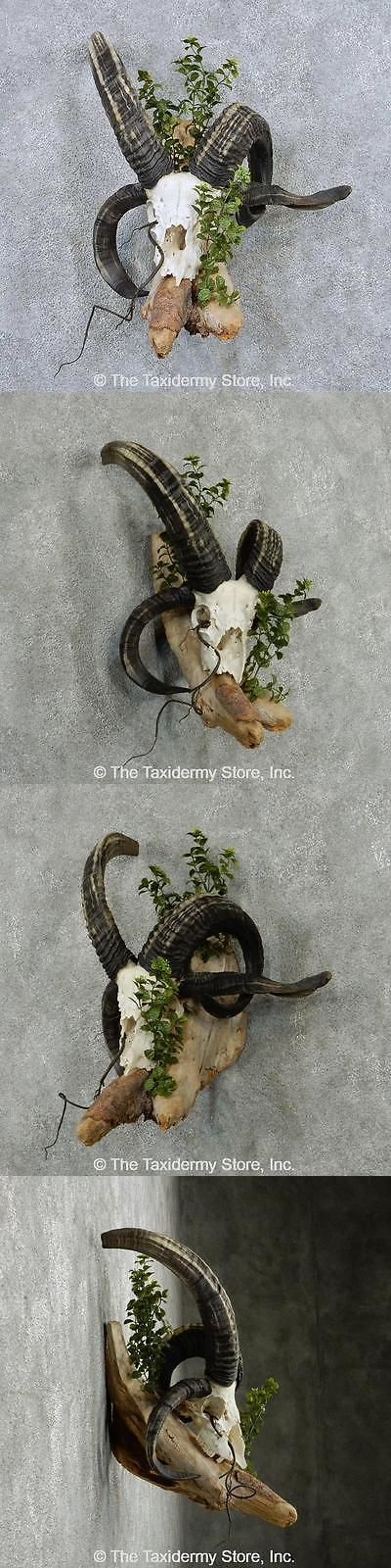 Other Taxidermy 22702: #13839 E | Jacobs Four Horn Skull And Horns Taxidermy Mount For Sale BUY IT NOW ONLY: $375.0