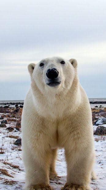 Ours polaire à votre rencontre