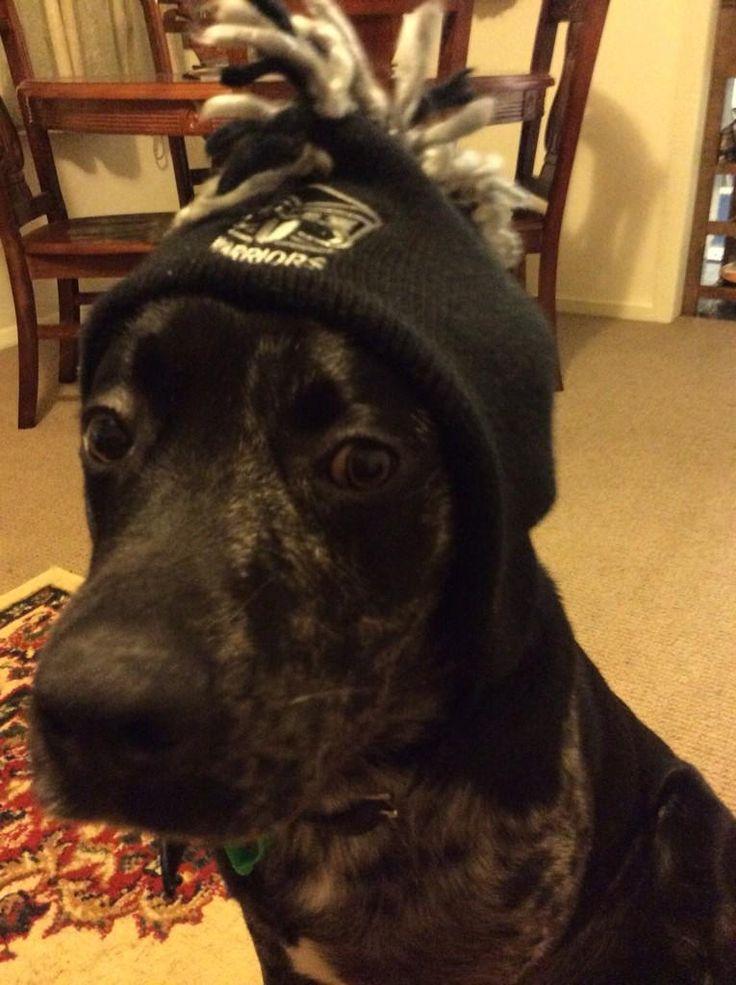 Dog wearing a Warriors beanie #Dog #Pet #Warriors #Beanie #WarriorsForever