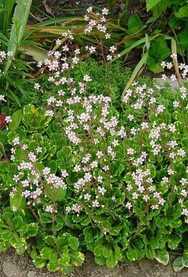 Saxifrage or London Pride flowers  http://www.gameo.org/encyclopedia/contents/menniste_zusje_flowering_plant