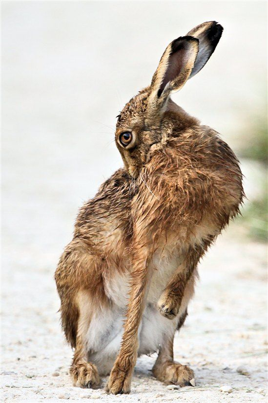 If you head over to #RSPB Otmoor this weekend, keep your eyes peeled for brown hare. The grass has been cut ready for next year's breeding season so they're much easier to see at this time of year #nature #wildlife