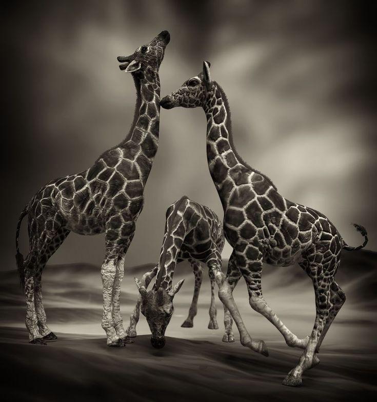 Giraffe by Vítězslav Koneval