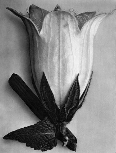 Campanula alliarifolia, Spurred bellflower, flower, 10x