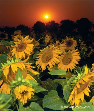 Sunflower at sunset in Vama Veche.The village is located in Dobrogea, on the Black Sea.