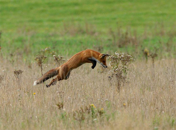 Hunting fox Hoge Veluwe