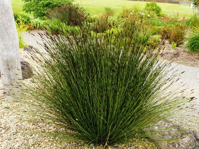 Chondropetalum Tectorum Cape Rush Plants Pinterest