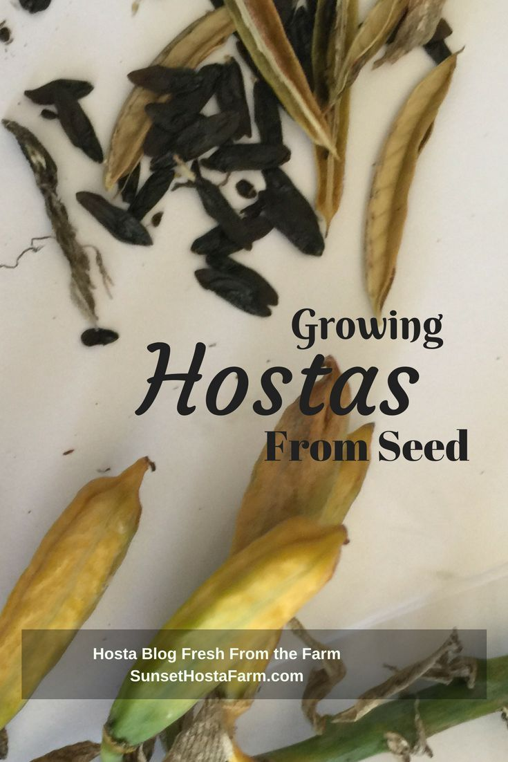 Growing Hostas From Seed Can Be A Tricky Endeavor But If You Have