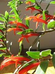 goldfish plant care
