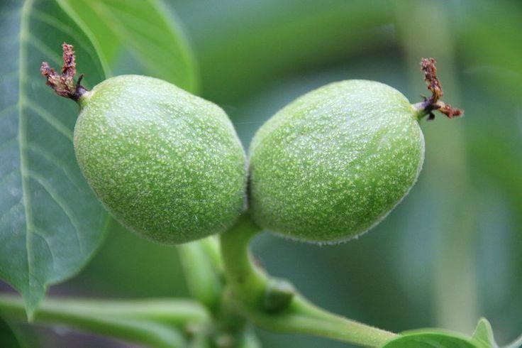 Bálint György kertről, növényekről | Hogyan készül a dióbor és diólikőr?