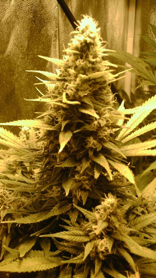 17 Best Images About Strain Of The Day On Pinterest Bud