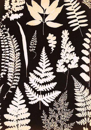 plant life photogram by watersedgechris, via Flickr