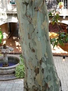 i love sycamore tree bark