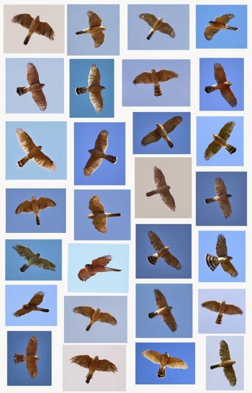 "Cooper's Hawks looking ""Sharpie-like"""
