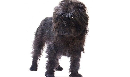Learn Everything about #Affenpinscher #DogBreed including #dogshedding, grooming, training #dogimages and much more.
