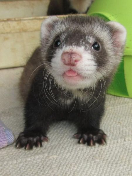 Ferret pup... Visit us for more http://www.yourpetclip.com/articles/funny-cute-pet-pictures/
