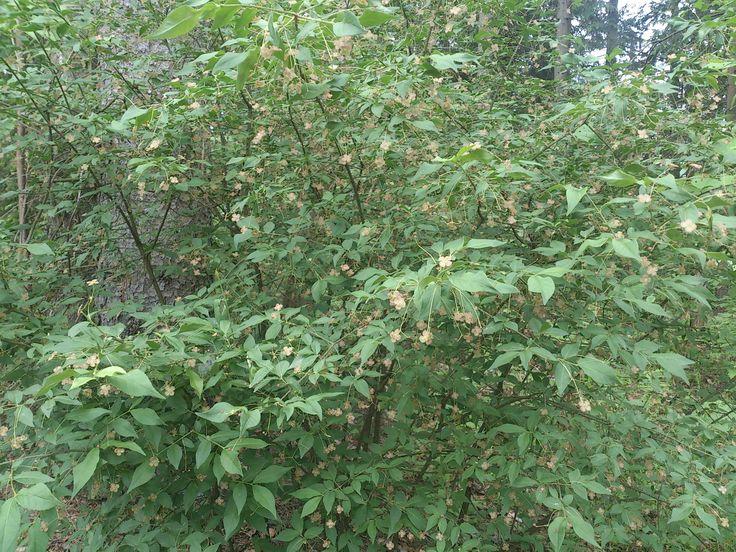 Берескле́т борода́вчатый (лат. Euonymus verrucosus) — невысокий листопадный кустарник, из рода Бересклет (Euonymus) семейства Бересклетовые (Celastraceae). Распространен в Евразиив широколиств. и хвойно-широколиственных лесах. Цветки невзрачные (появляются в мае-июне), особенно декоративен с плодами (в августе-сентябре). Название получил из-за наростов на ветках.