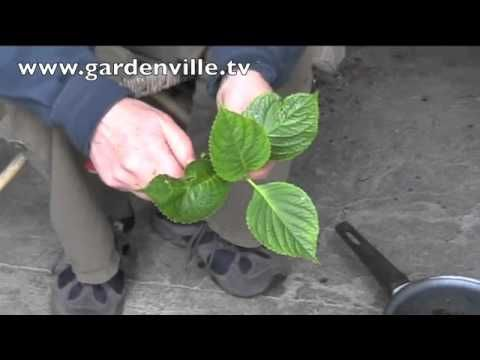 Propagating Hydrangeas -  How to video link...