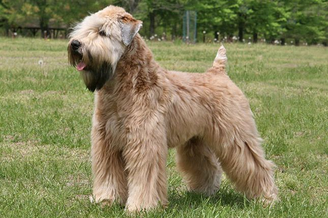 soft coated wheaten terrier haircut photos pin by laura virant on wheaten terriers pinterest