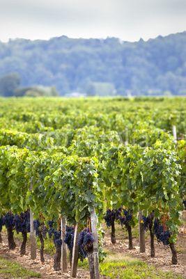 St. Emilion vineyards