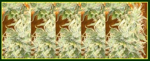 how to cut clones from marijuana plants