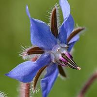 Bernagie Borage officinalis Blauwe wilde bloemen © Lidy Poot Hele mooie website over kruiden en wilde planten