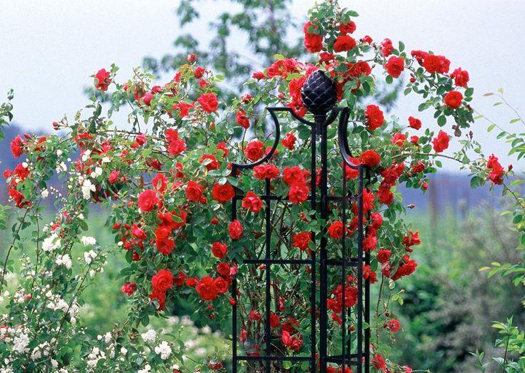 Rosenobelisk II von Classic Garden Elements mit feuerroter Kletterrose auf dem Bild von Friedrich Strauss. Diese dreiflügelige Rank-Säule lässt sich flexibel vor, neben oder hinter der Rose aufstellen, je nachdem wie die langen Triebe geleitet und gestützt werden sollten.