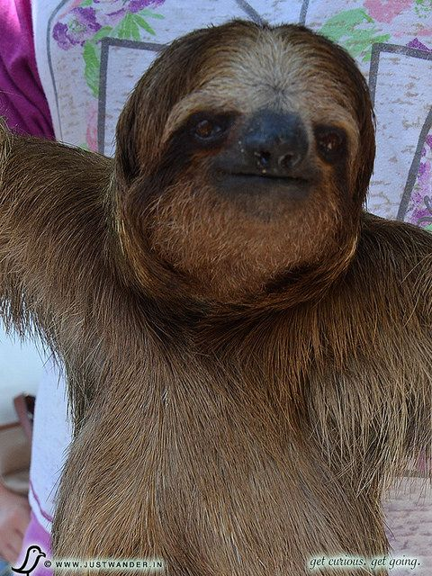 PIC: Sloth Encounter, Roatan, Honduras - Excursion from Caribbean Cruise...LOL, I'd pay to see a sloth and carry it as a backpack