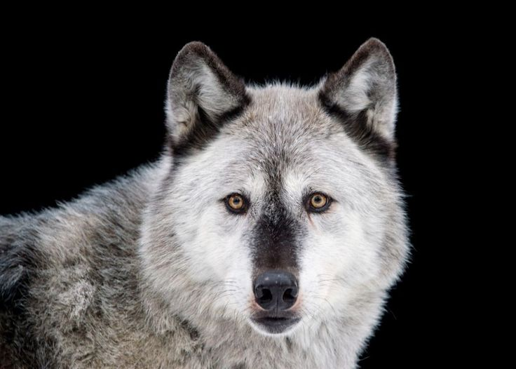 The gray wolf is the largest of all wolf species in the world. They are mostly found throughout Alaska and Western Canada in packs of around 30 individuals. Photographed at the Alaska Zoo, AK.