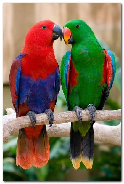 Eclectus parrot pair, these are the most beautiful. Males are green and females are red. A 'pair' or a 'prattle' of parrots.